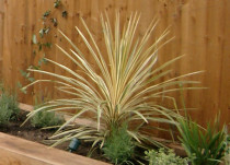 Cordyline