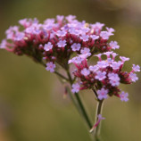 verbena close up